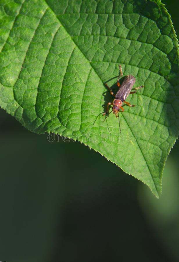 在绿色背景拷贝空间的绿色叶子昆虫甲虫萤火虫 免版税库存照片
