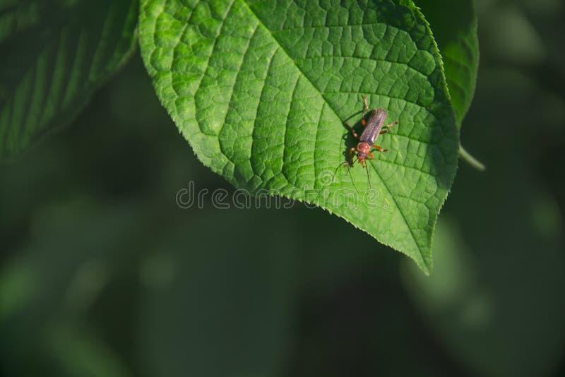 在绿色背景拷贝空间的绿色叶子昆虫甲虫萤火虫 库存图片