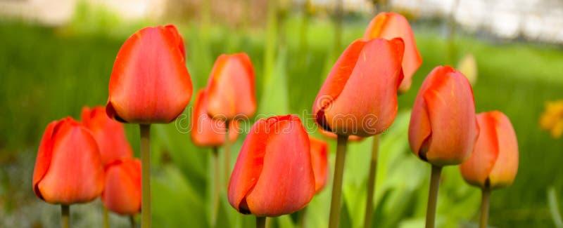 在绿色背景横幅宽度的红色郁金香 免版税库存照片