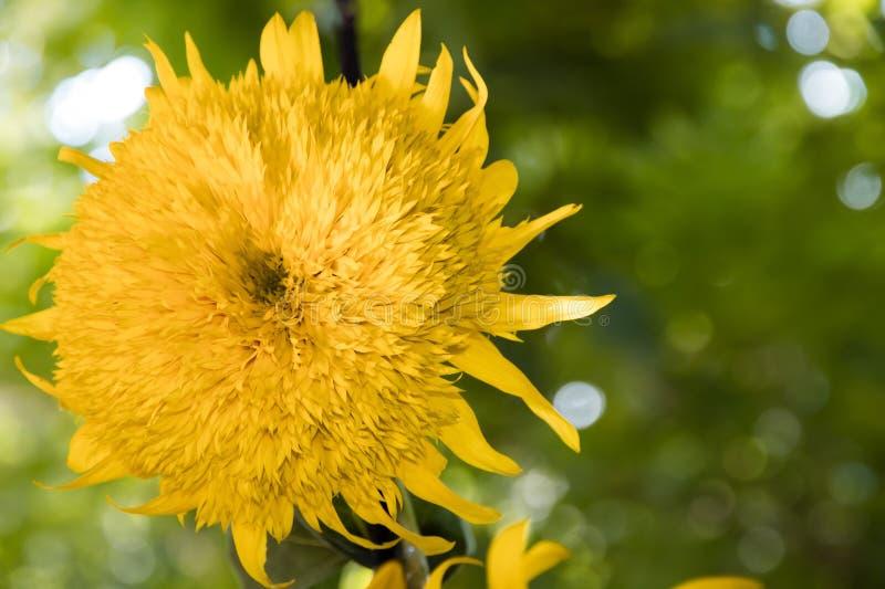 在绿色背景的双重特里向日葵花 库存照片
