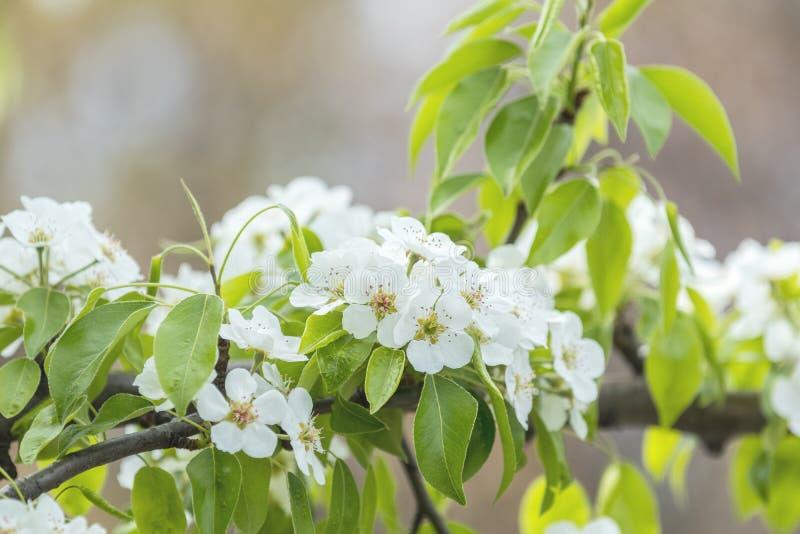 在绿色背景的梨开花 免版税库存照片