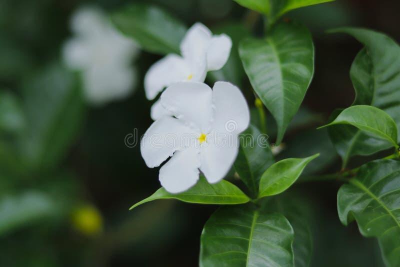 在绿色背景的白花 免版税图库摄影