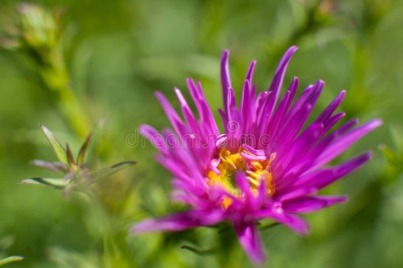 在绿色背景的紫色花 库存照片