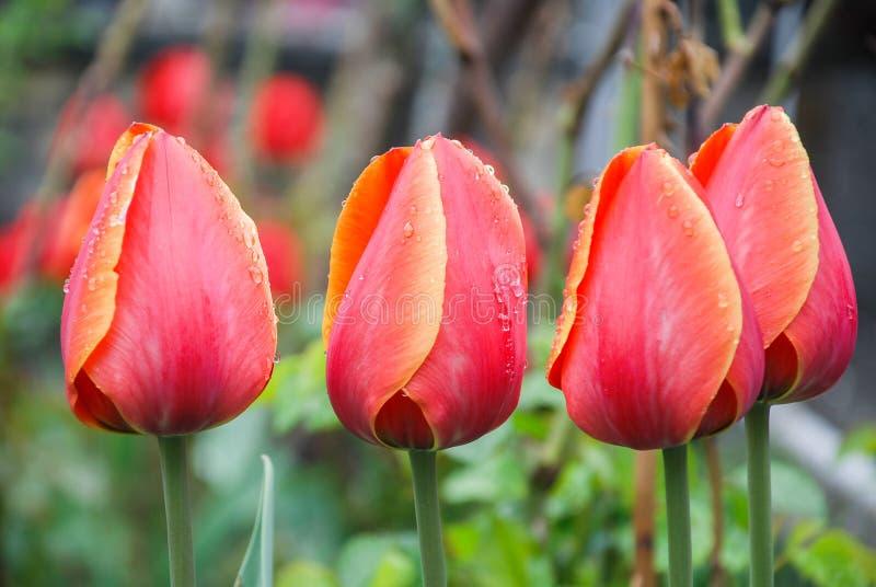 在绿色背景的红色郁金香,叶子,水滴下 免版税图库摄影