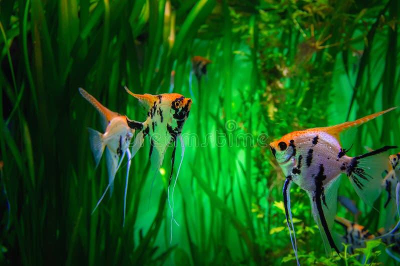 在绿色背景的美丽的五颜六色的热带鱼Skalaria 在水族馆的标量在海藻背景  免版税库存照片
