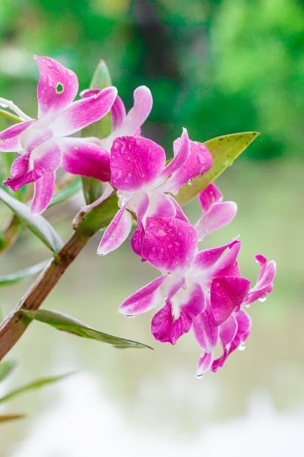 在绿色背景的美丽的兰花 免版税库存照片