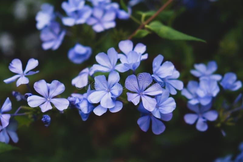 在绿色背景的蓝色小花 库存照片