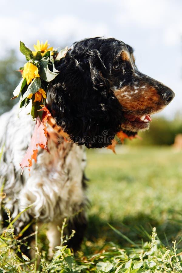 在绿色背景的西班牙猎狗 免版税库存照片