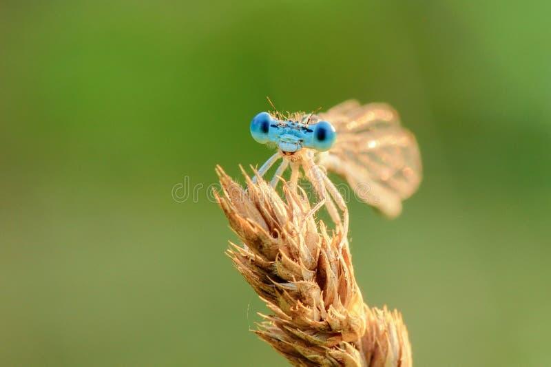 在绿色背景隔绝的蜻蜓在日落 库存图片