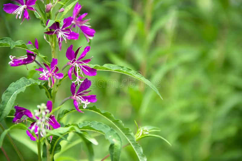 在绿色背景bokeh树增长并且开花杨柳茶医治用的官座医治用的紫罗兰色颜色倒挂金钟 库存照片