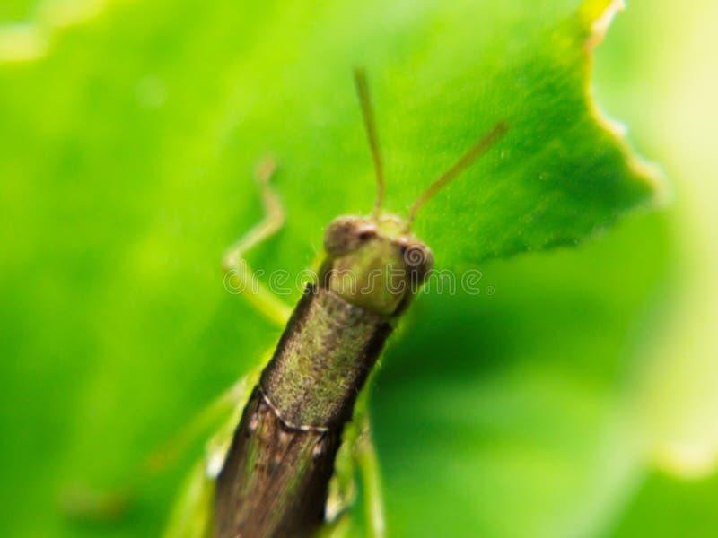 在绿色自然叶子迷离背景的接近的蚂蚱 库存图片
