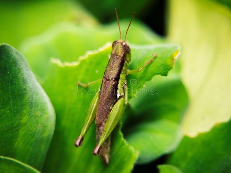 在绿色自然叶子迷离背景的接近的蚂蚱 免版税库存照片