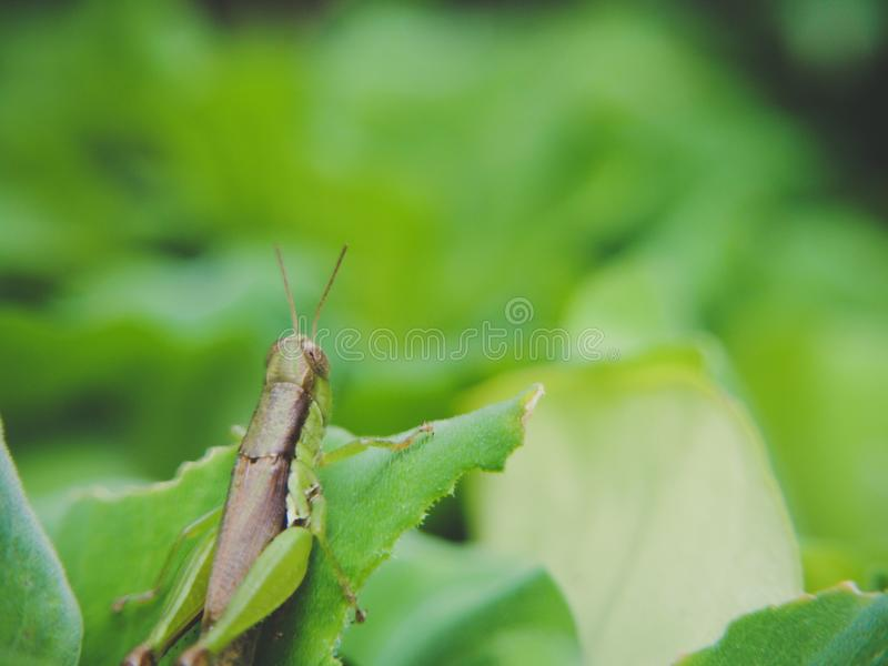 在绿色自然叶子迷离背景的接近的蚂蚱 免版税图库摄影