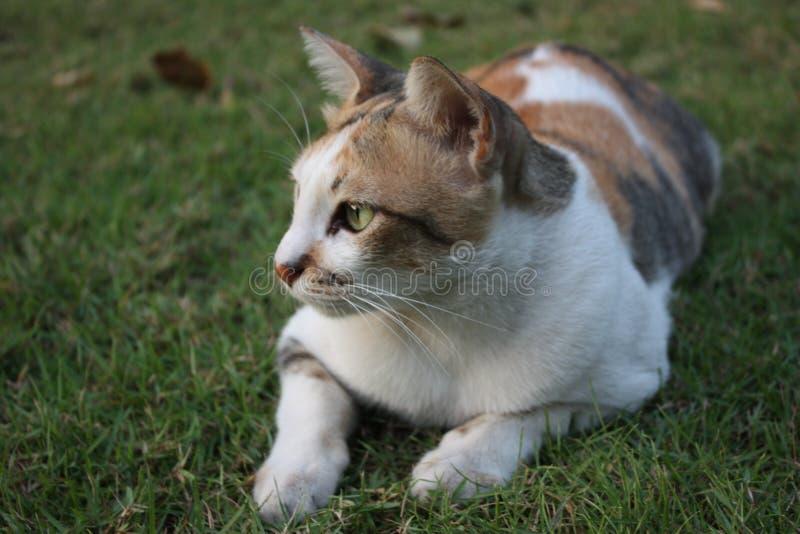 在绿色草坪的泰国猫 免版税库存图片