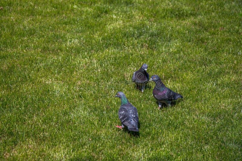 在绿色草坪的鸽子在城市停放 库存照片