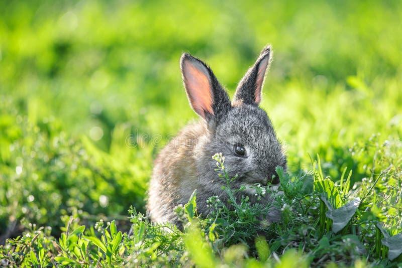 在绿色草坪阳光的逗人喜爱的小兔子 图库摄影