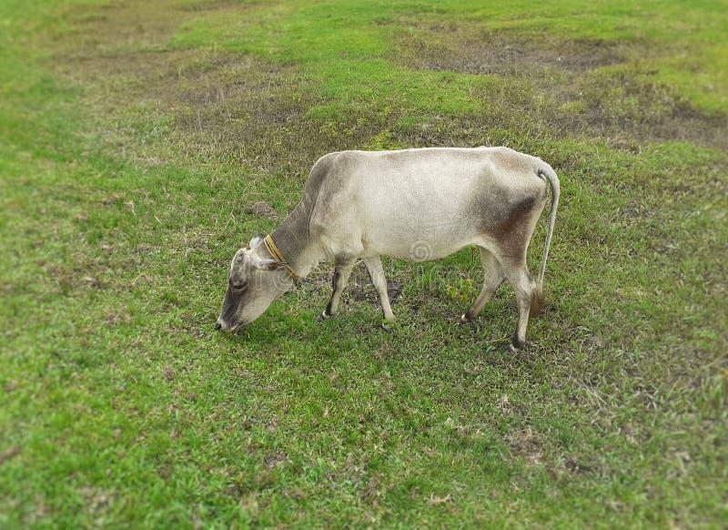 在绿色草甸和吃草的一个灰色颜色母牛身分 免版税库存照片