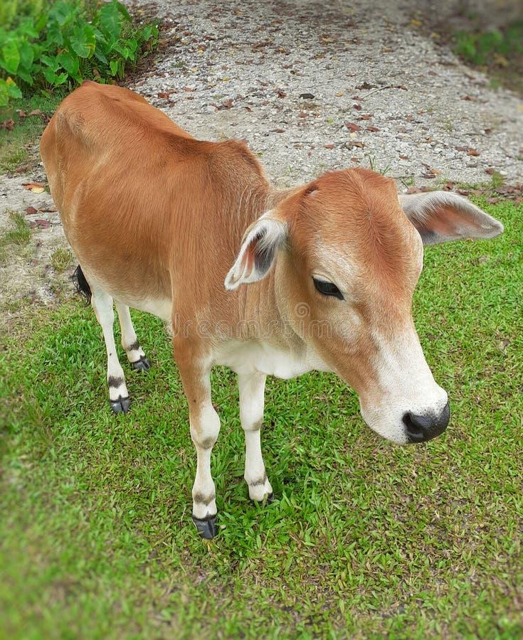在绿色草甸的一个小棕色颜色印度母牛身分 印度母牛图象 免版税库存照片