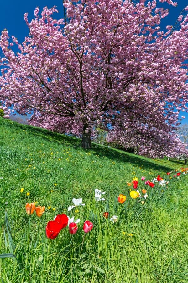 在绿色草甸的五颜六色的郁金香在桃红色开花的树前面 库存图片