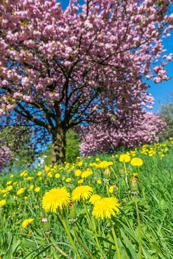 在绿色草甸的蒲公英花在桃红色开花的树前面 库存图片