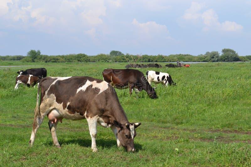 在绿色草甸背景的母牛 库存照片