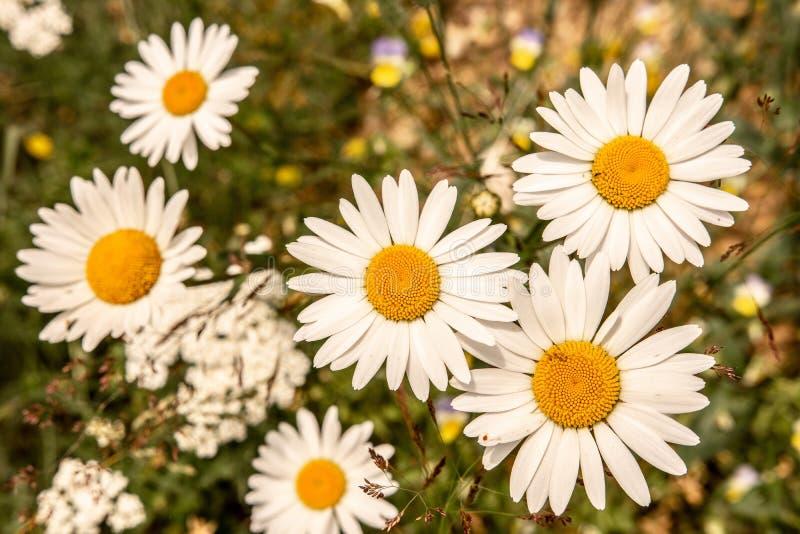 在绿色草甸领域的戴西花 自然和从事园艺的概念 图库摄影