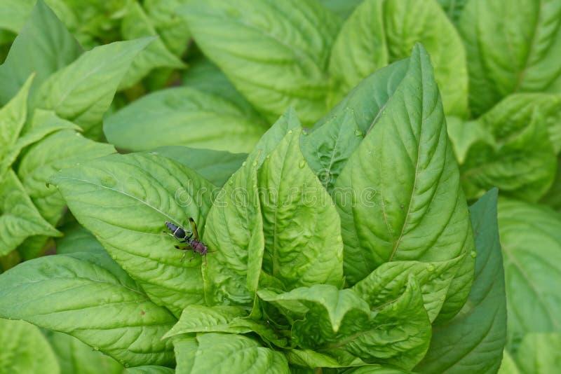 在绿色菜叶子的大黄蜂 库存图片