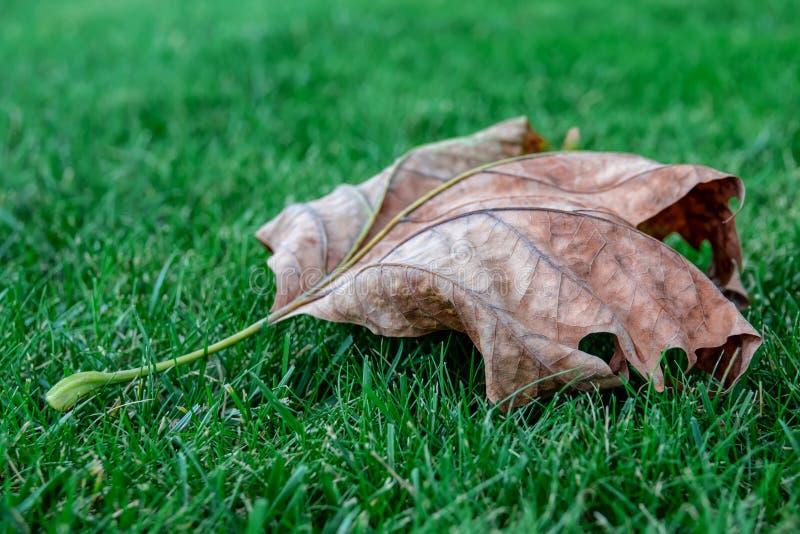 在绿色被剪的草的干燥枫叶 免版税图库摄影