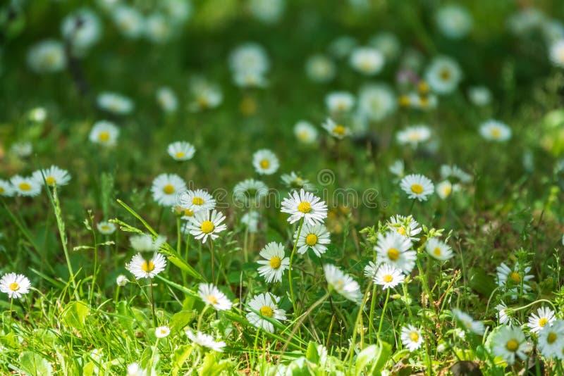 在绿色被弄脏的背景的白色和黄色雏菊花 库存图片