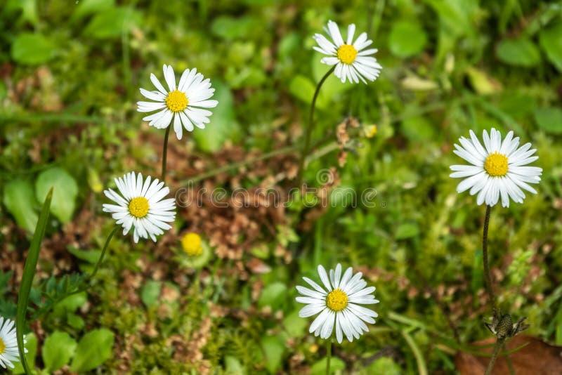 在绿色被弄脏的背景的白色和黄色雏菊花 免版税库存图片