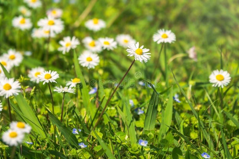 在绿色被弄脏的背景的白色和黄色雏菊花 免版税库存照片