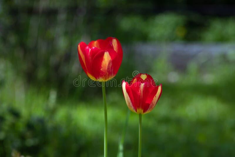 在绿色被弄脏的背景的红色郁金香 在庭院关闭的两郁金香 与红色和黄色瓣的美丽的花 免版税库存图片