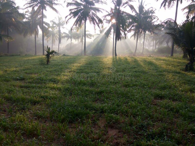 在绿色象草领域的光束在秋天早晨 免版税图库摄影