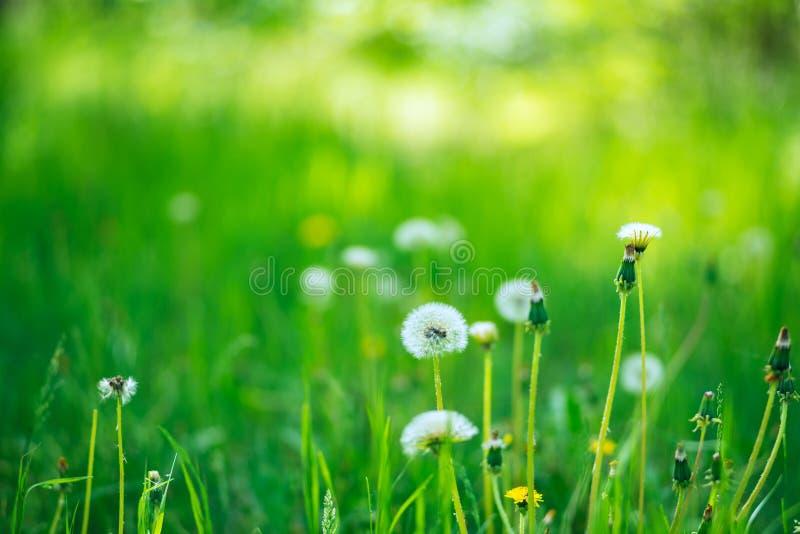 在绿色豪华的草中的蓬松蒲公英 图库摄影
