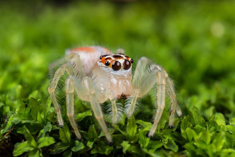 在绿色青苔极端关闭的跳跃的蜘蛛j宏观照片  库存照片