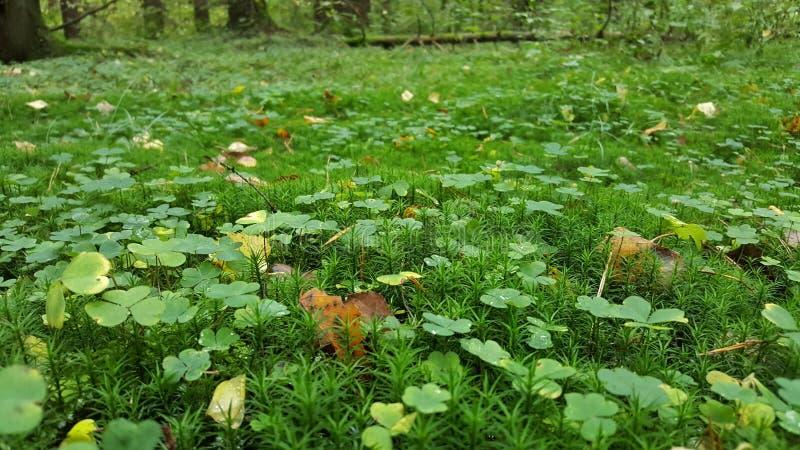 在绿色青苔的三叶草 免版税库存图片