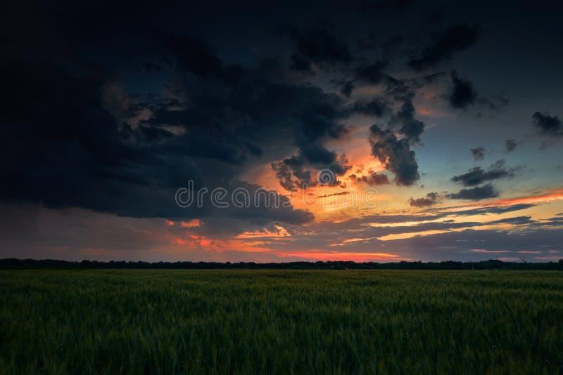 在绿色领域、夏天风景、黑暗的五颜六色的天空和云彩的美好的日落作为背景,绿色麦子 免版税图库摄影