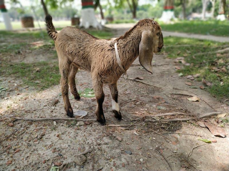 在绿色领域的小山羊 库存照片