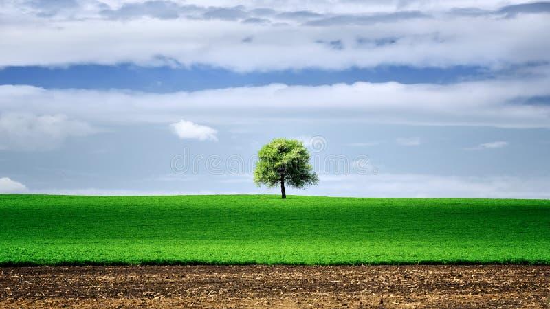 在绿色领域的被隔绝的树,在与蓝天的春天 库存照片