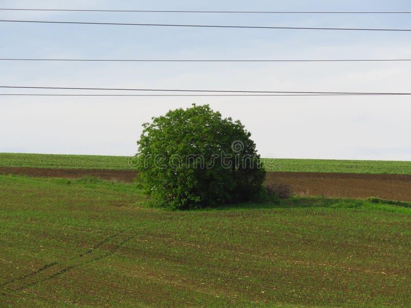 在绿色领域草甸背景的被隔绝的球状绿色树 被耕种的棕色土壤 免版税库存图片