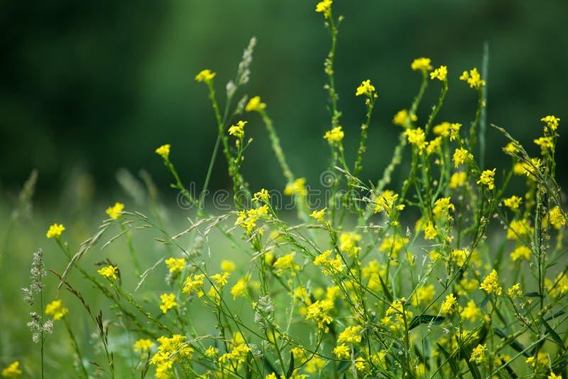 在绿色领域被弄脏的背景关闭,芸苔植物花宏指令、芸苔rapa、juncea或者napus的黄色芥末花 库存图片
