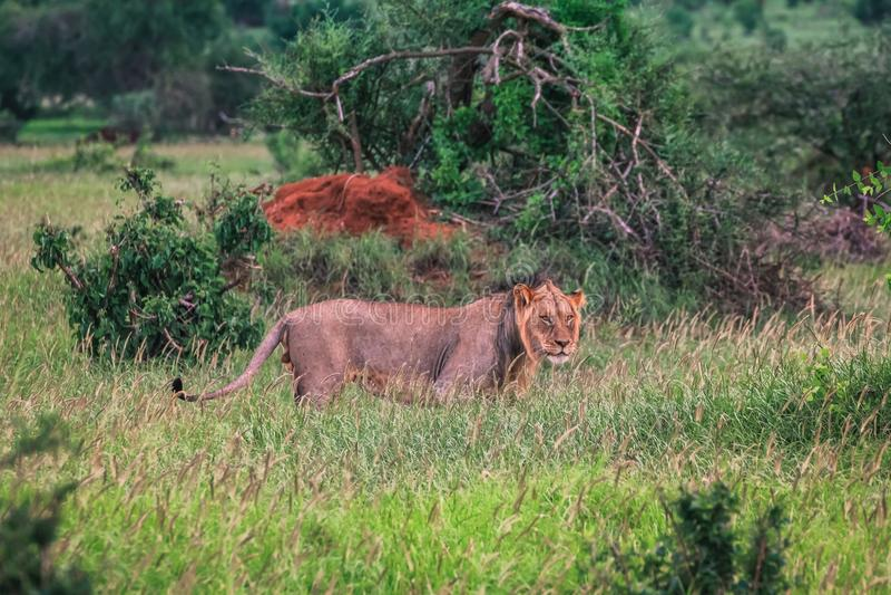 在绿色gras的雌狮在马塞语玛拉 库存图片