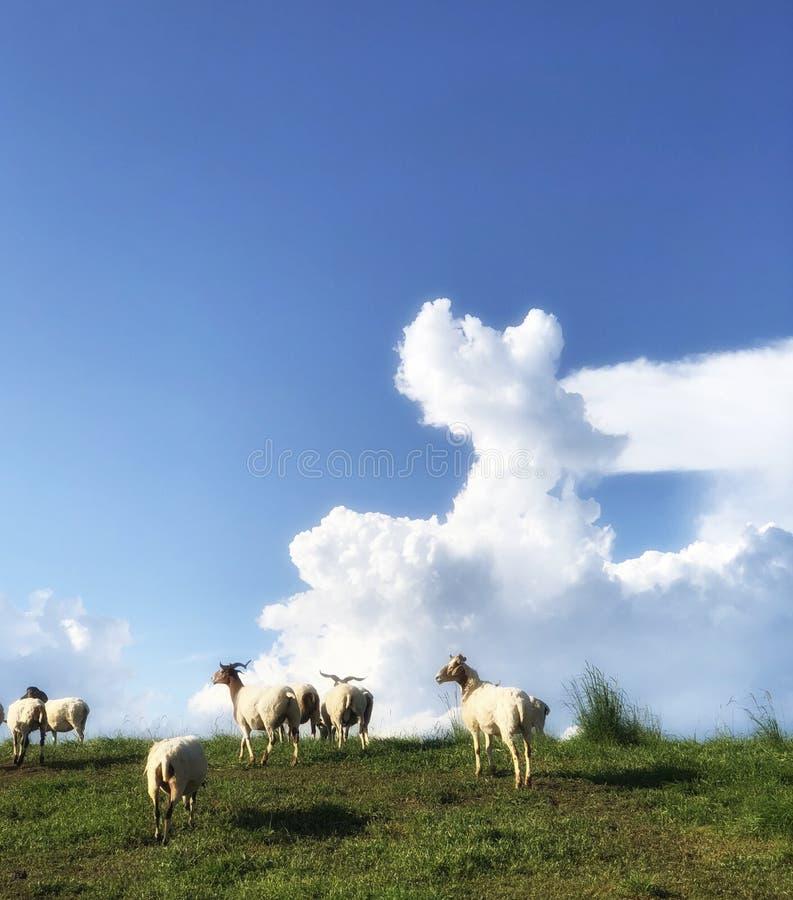 在绿色hight山的绵羊与蓝天美丽的白色云彩 库存图片