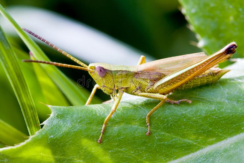 在绿色leafe的绿色蝗虫 免版税图库摄影