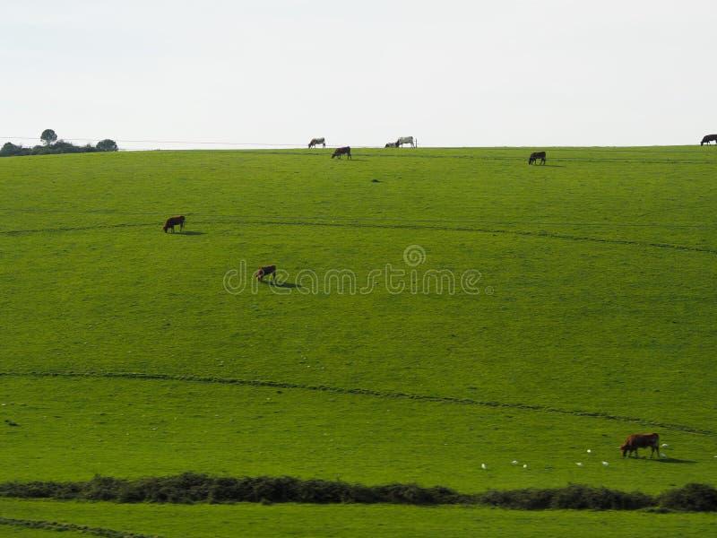 在绿色medow的母牛 免版税库存图片