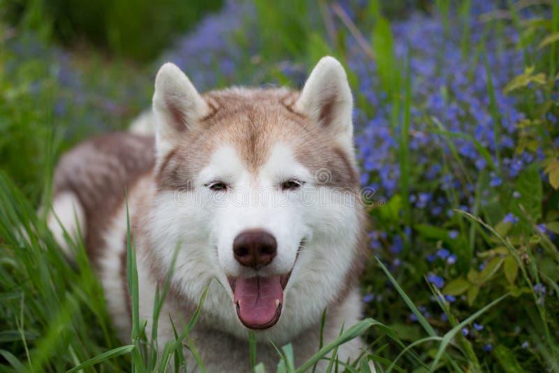 在绿草和紫罗兰色花的华美的米黄和白色狗品种西伯利亚爱斯基摩人特写镜头画象  库存图片