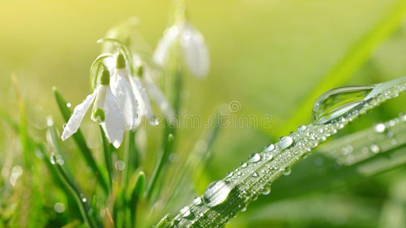 在绿草和snowdrop的露滴在草甸开花 免版税库存图片