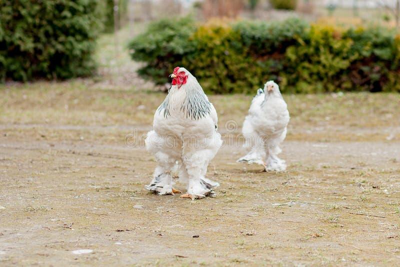 在绿草外部的增长的健康白色母鸡在老木谷仓墙壁背景春天的农村围场在明亮的好日子 免版税图库摄影