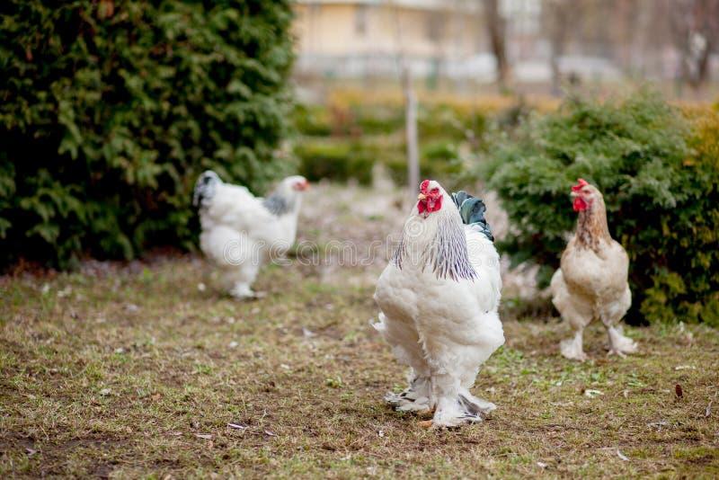在绿草外部的增长的健康白色母鸡在老木谷仓墙壁背景春天的农村围场在明亮的好日子 免版税库存照片