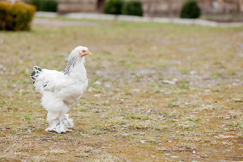 在绿草外部的增长的健康白色母鸡在老木谷仓墙壁背景春天的农村围场在明亮的好日子 免版税库存图片